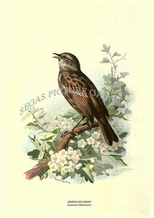 HEDGE-SPARROW - Accentor Modularis